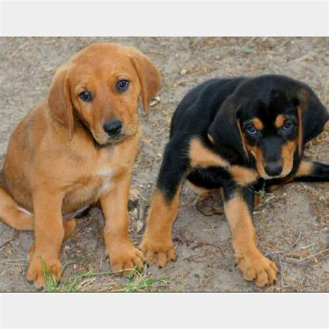 bloodhound mix puppies black lab bloodhound mix puppies www imgkid the image kid has it