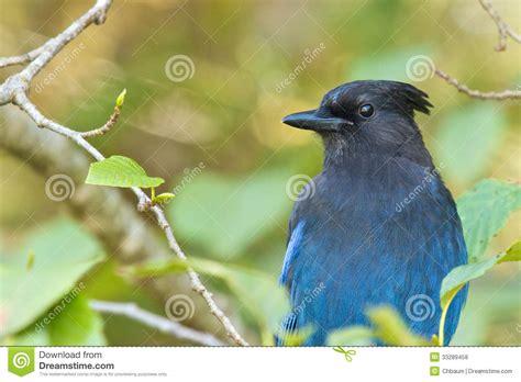 stellar blue jay 1 royalty free stock photos image 33289458