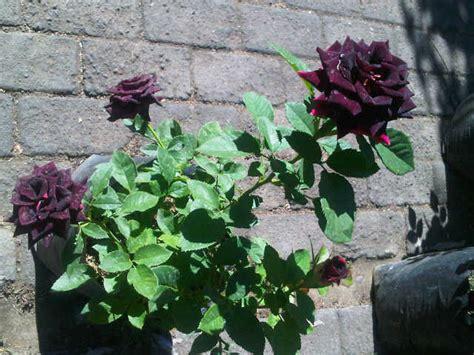 Benih Mawar Hitam jual tanaman mawar hitam black bibitbunga