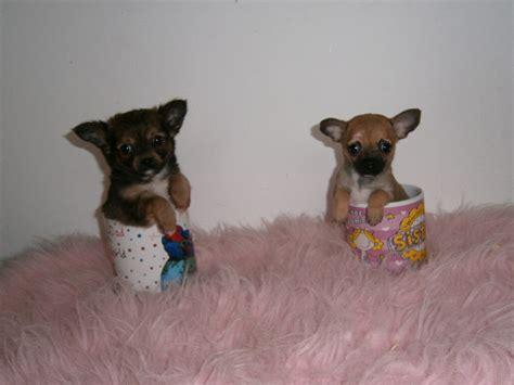 tiny chihuahua puppies tiny tiny teacup chihuahua puppies harrow middlesex pets4homes