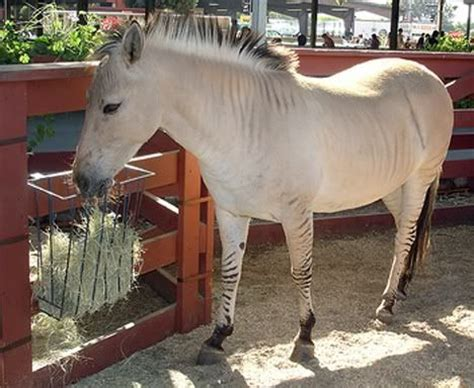 fjord mule 17 best images about zorse on pinterest shetland ponies