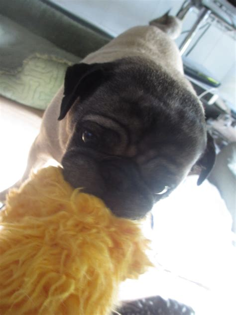 pug toys for favorite pug toys