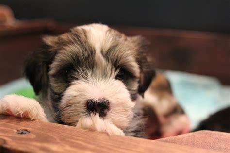 pied havanese woody havanese puppy gold brindle pied unavailable akc havanese puppies