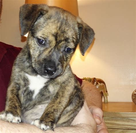 brindle rottweiler stunning brindle staffy x rottweiler puppies 8 wks coventry west midlands pets4homes