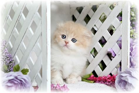rug hugger kittens for sale creamsicle rug hugger minuet fold kitten for saleultra kittens for sale 660