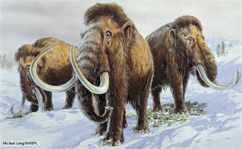 wooly mammoth ice age bbc nature woolly mammoth videos news and facts