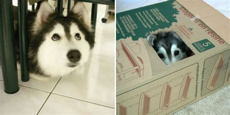 acts like cat this husky raised by cats acts like a cat bored panda