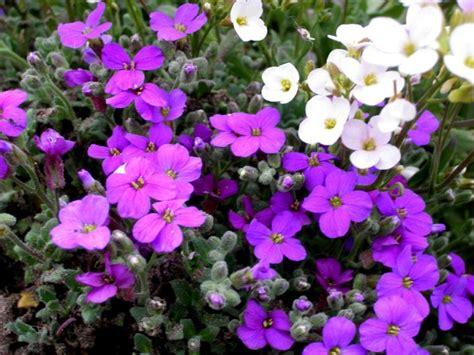 fiori perenni per giardino piante perenni l aubretia cruciferae adatta per giardini