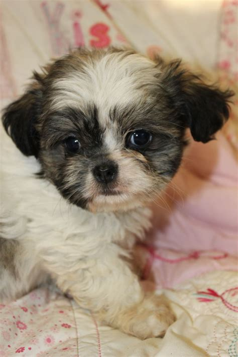chihuahua shih tzu mix puppy shih tzu chihuahua mix puppies www imgkid the image kid has it