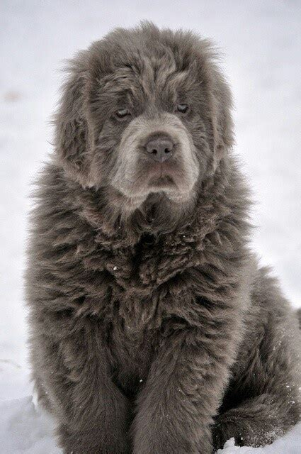 best newfoundland breeders 228 best newfoundlands images on newfoundland