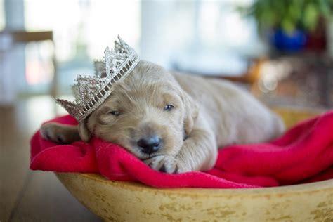 princess puppies royal puppies