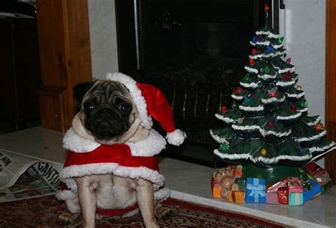 new year pug new year s day pug photo and wallpaper beautiful new year s day pug pictures
