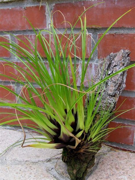 plantfiles pictures tillandsia bromeliad air plant tillandsia kirchhoffiana by daveh