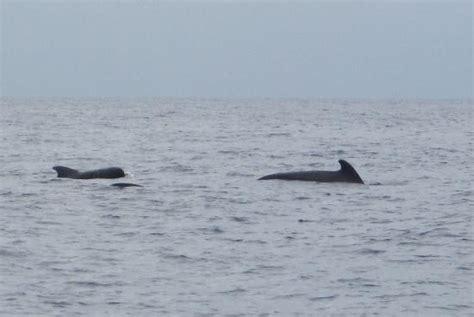 island pilot catamaran pilot whales billede af vmt madeira catamaran trips