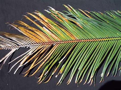 Palm Plant Diseases - pestnet gt summaries of messages gt crops gt trees palms amp pandanus gt palms amp cycads gt cycads