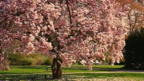 rosa blühende bäume 1716 die 88 besten fr 252 hling hintergrundbilder