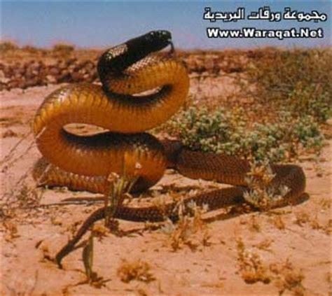 imagenes de langostas negras صور أم الديـبـــان أخطر المخلوقات على وجه الأرض