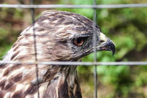 uccello in gabbia eagle in una gabbia aquila triste falco triste uccello