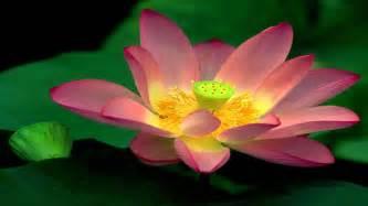 Lotus Wallpaper Beautiful Wallpapers Lotus Wallpapers Hd
