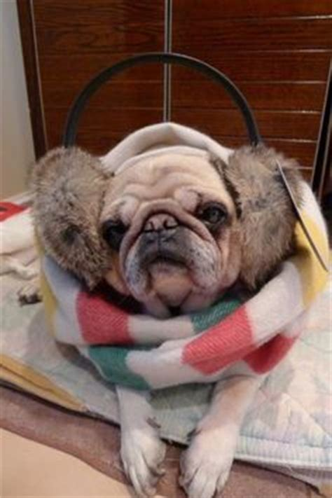 pug temperature pug is ready for the cold weather