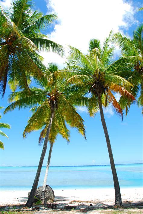 Palm Tree - file palm trees polynesia jpg