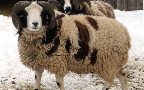 10 most popular sheep breeds raised for meat and wool