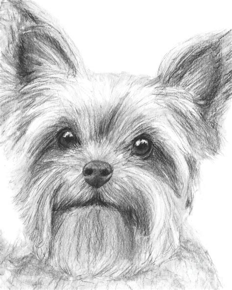 how to draw a yorkie puppy terrier drawing drawing by kate sumners