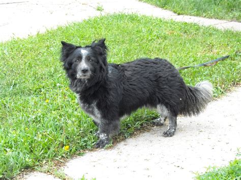 border collie and yorkie mix corgi border collie mix allmutt