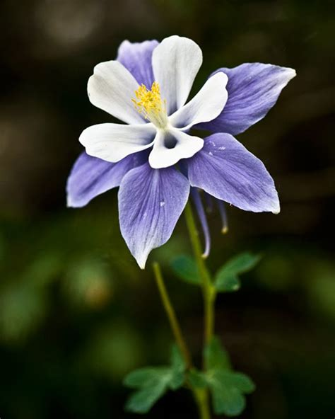 audrey allure sunday flowers columbine flowers