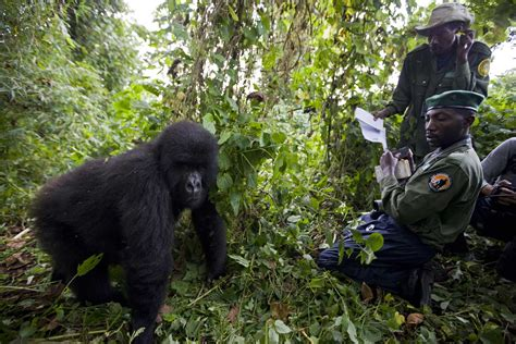 image of gorilla in the congo 100 photographs the most