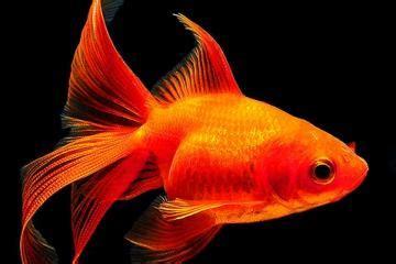 pesciolino rosso nella vasca di cristallo acclimatazione dei pesci consigli su come prendersi