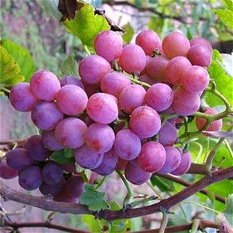 khasiat dan koleksi gambar buah aggur gambar hidup