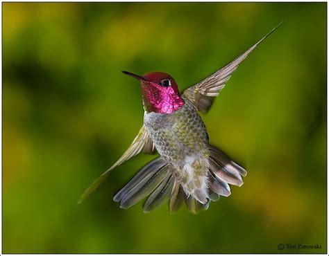 annas hummingbird 309