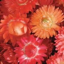 Tanaman Bunga Vinca Pink bibit bunga vinca pink