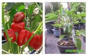 Bibit Cabe Paprika 10 tahap mudah menanam paprika dalam pot atau polybag agar