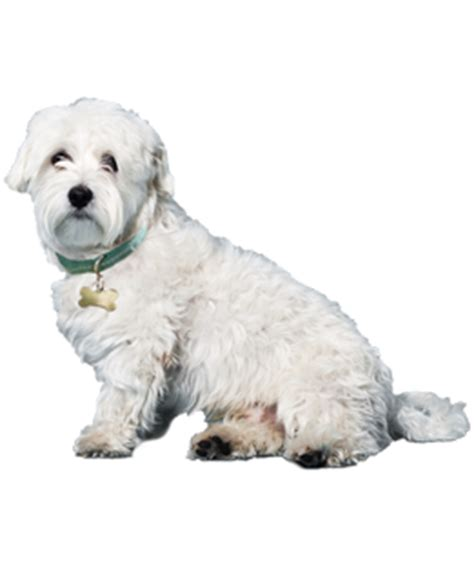 how many puppies can a maltese maltese puppies dogs for adoption