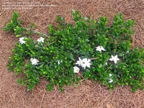 high c gardenias 17 best images about cultivar choices gardenias on pinterest jasmine shrubs and beauty