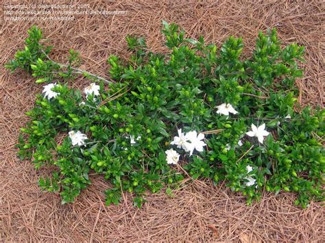 high c gardenias 17 best images about cultivar choices gardenias on