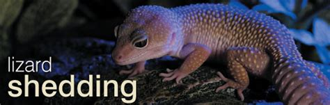 Do Anoles Shed Their Skin by Reptile Shedding Faqs About Shedding Of Skin In Lizards