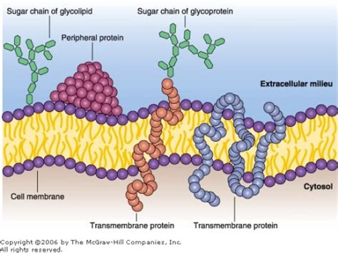 sugar atoms  cell membrane  composed