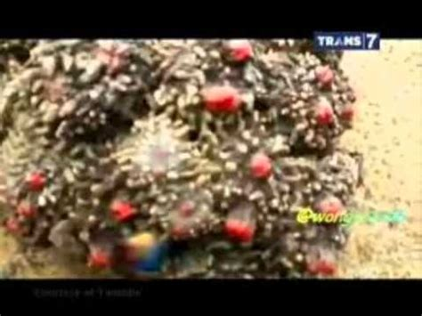 Sulaiman Combong Mata Ikan batu akik motif keris doovi