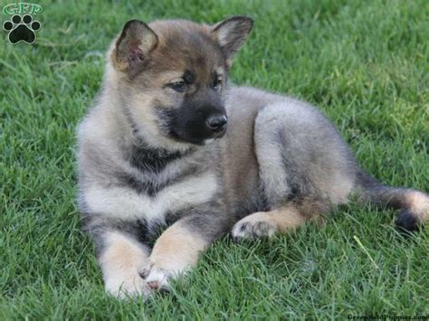 haired german shepherd puppies for sale in pa german shepherd puppies for sale in pa breeds picture