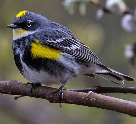 bird species yellow rumped warbler