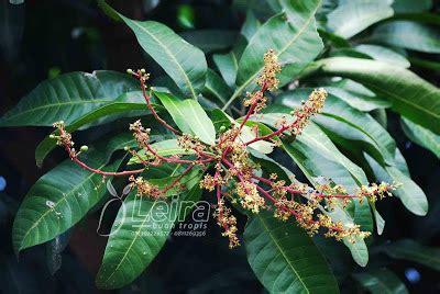 Pupuk Kalsium Untuk Mangga gadis petani mencegah kerontokan bunga dan bakal buah