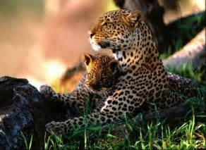 Images Of Jaguar Animal Cubs Images Jaguar With Cub Hd Wallpaper And