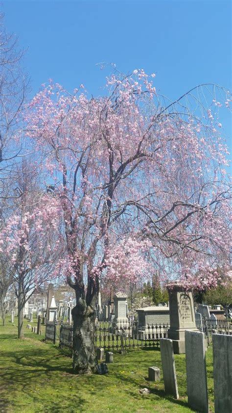 weeping higan cherry yale nature walk