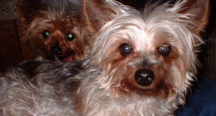 care for yorkie after spaying maple hill farm breed rescue home page