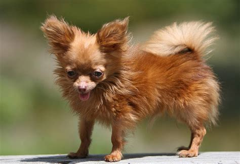 smallest breed in the world small breeds information and pictures of all small dogs