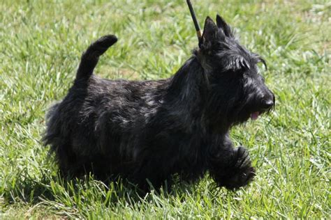 Do Scottish Terriers Shed by Scottish Terrier Breed