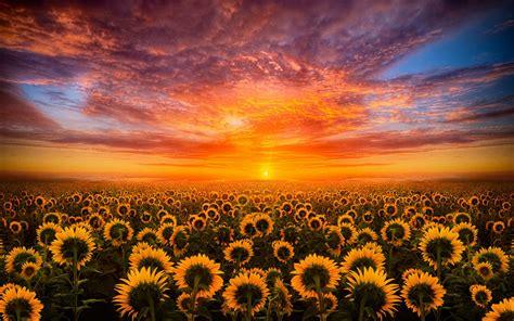 sunset red sky cloud field  sunflower hd desktop